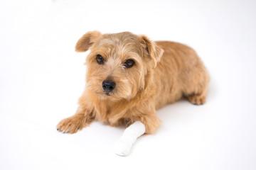 足をケガした犬