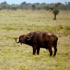 Two African buffalo