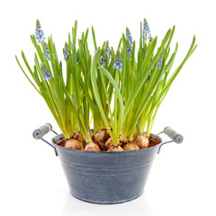 Muscari botryoides flowers also known as blue grape hyacinth