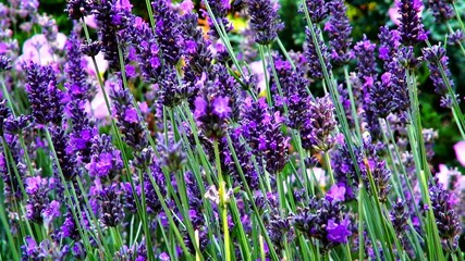Purple lavender with honey bees. Slow motion.