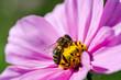 Obrazy na płótnie, fototapety, zdjęcia, fotoobrazy drukowane : Abeille sur une fleure