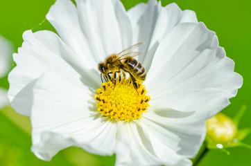 Abeille sur une fleure