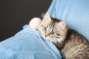 grey kitten on a blue background