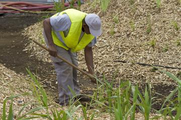 Jardinier entretenant une plantation de cannes