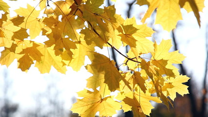 Autumn bright yellow leaves of a maple in a sunny day