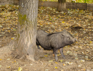 Мини свинка