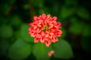 Wunderschöne rote Blume im Tropischen Regenwald