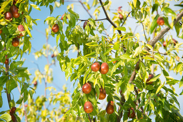 Jujube fruits ripened on the tree.м