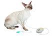 Siamese Cat plays with computer mouse, isolated on white