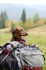 Dachshund on a backpack