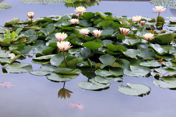 Nymphaea, white water lily