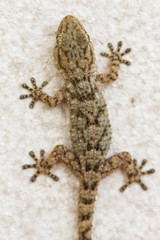 Gecko on a wall in Spain
