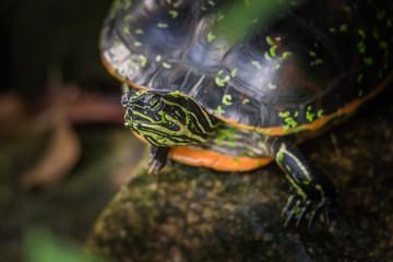 Tropische Schildkörte im Amazonas Regenwald