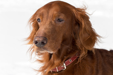 close-up Red Setter