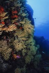 Italy, Tyrrhenian Sea, yellow gorgonians