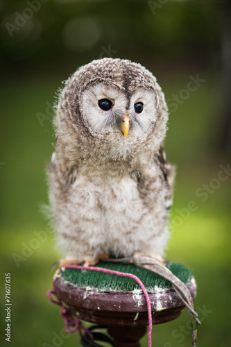 Poster Uil Close up of a baby Tawny Owl (Strix aluco)