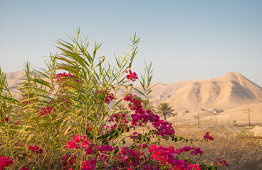 Bougainvillea on background of Judean Mountains in Israel
