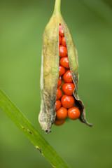 Arum, araceae, fruit