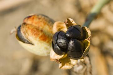 Pancratium maritimum, sea daffodil black seeds and pods