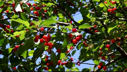 Agriculture,  red cherry fruit at tree branch