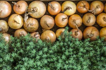Onions organic farming
