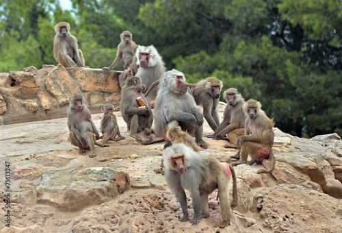 Foto op Canvas Aap Colonia di babbuini con prole