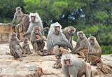 Colonia di babbuini con prole