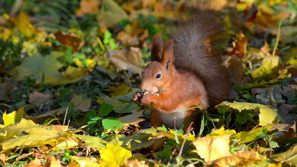 Squirrel eating nuts among the fallen leaves in autumn forest