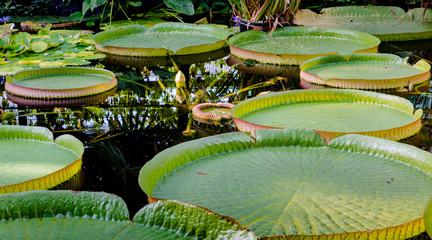 Wunderschöne Wasserplanze im Amazonas
