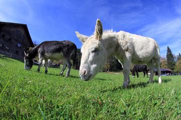 Esel auf der Weide