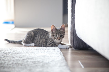 Small grey pet kitten playing indoor