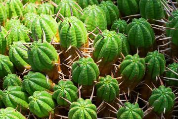 Euphorbia ferox, Euphorbiaceae, South Africa