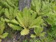 canvas print picture - fern