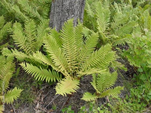 canvas print picture fern
