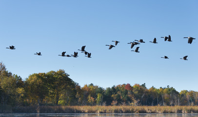 Geese Flying Across the Lake