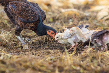 thai domestic chicken hen feeding with baby chicken on rural gro