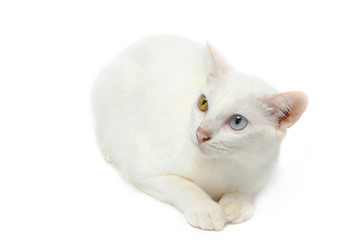 Two color eyes white cat