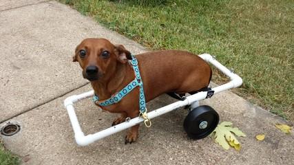 Paraplegic dog wheelchair
