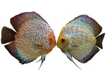 Pair of discus fish on white background