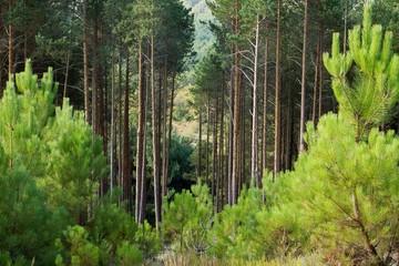 Bosque de Pino silvestre. Pinus sylvestris.