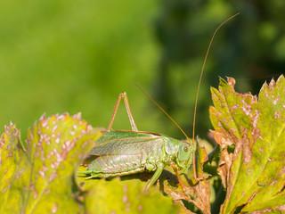 Green grasshoper in a garden