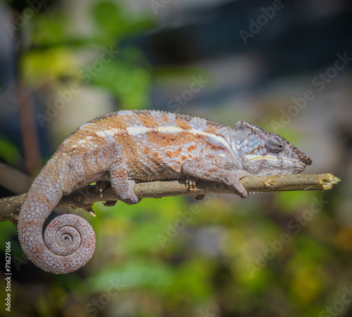 Foto op Aluminium Kameleon Colorful chameleon of Madagascar