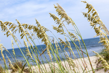 reed grass at the dune