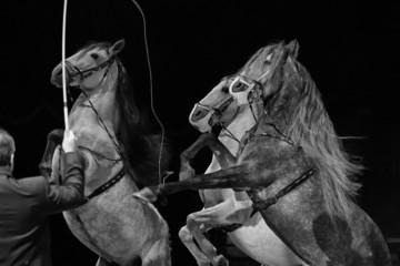 Rampant circus white horses