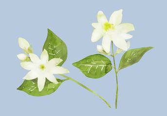 白いジャスミンの花 水彩イラスト