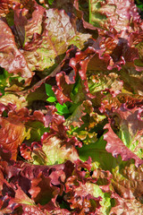 Lettuce background red