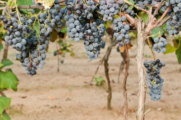 Clusters of red wine grape in vineyard ready to harvest