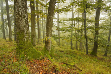 Foggy oak and beech forest in early autumn, Slovakia, Europe.