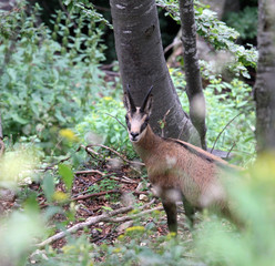 fearful young mountain CHAMOIS in the forest
