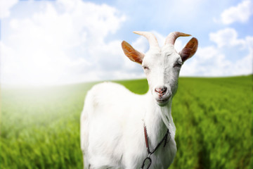 gorgeous goat on fresh summer field